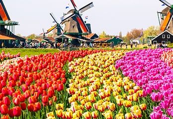 Windmills and tulips in Netherlands
